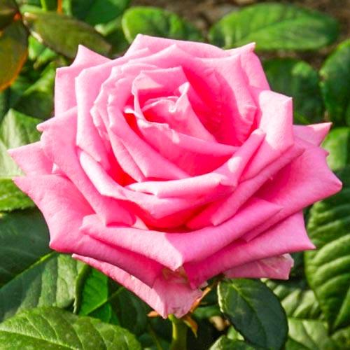 Trandafir teahibrid Bel Ange imagine 1 articol 2104