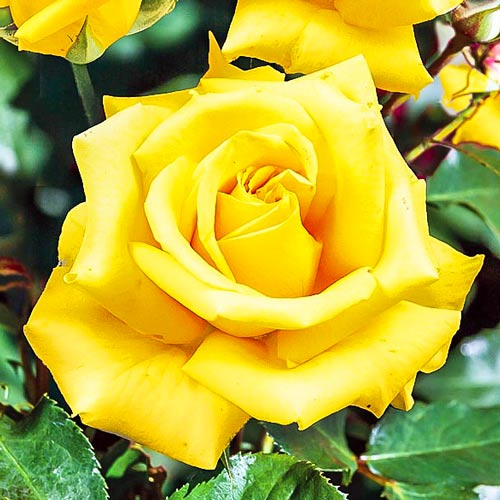 Trandafir teahibrid Casanova imagine 1 articol 2120