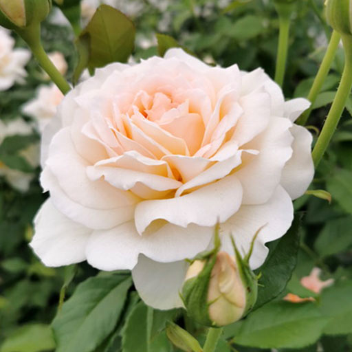 Trandafir teahibrid Chandos Beauty imagine 1 articol 4562