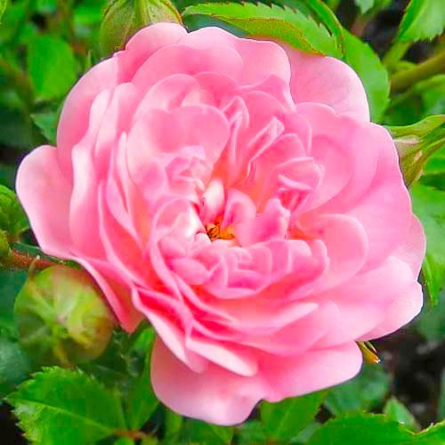 Trandafir teahibrid Fairy imagine 1 articol 3683