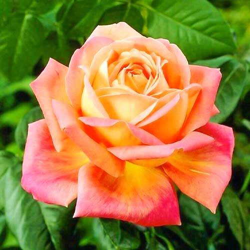 Trandafir teahibrid Orange & Pink imagine 1 articol 3687