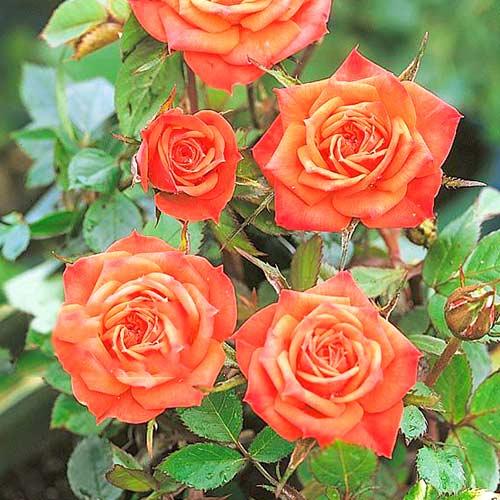 Trandafir teahibrid Orange mini imagine 1 articol 3681