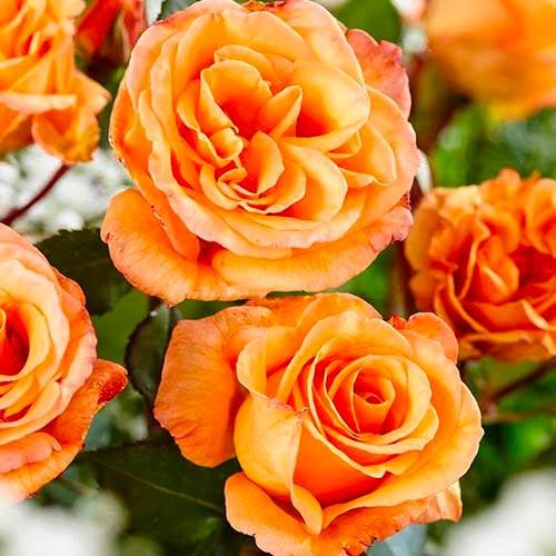 Trandafir teahibrid Orange