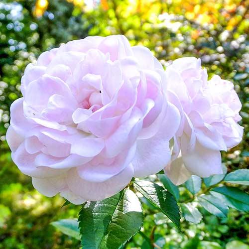 Trandafir teahibrid Sea Foam imagine 1 articol 3684
