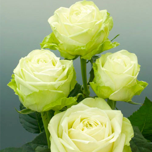 Trandafir teahibrid Green imagine 1 articol 2118