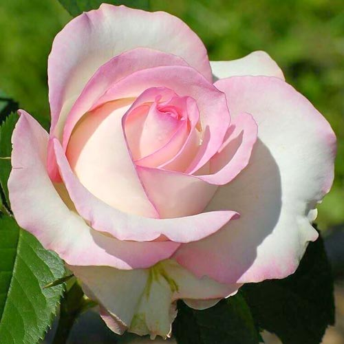 Trandafir teahibrid White & Pink imagine 1 articol 3628