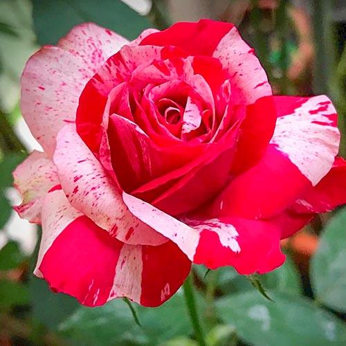 Trandafir teahibrid White & Red imagine 1 articol 3629