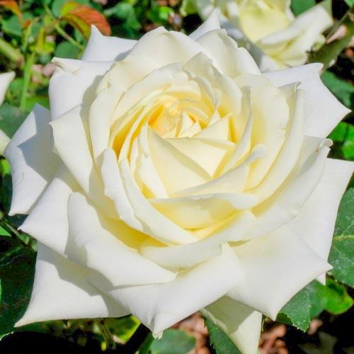 Trandafir teahibrid White