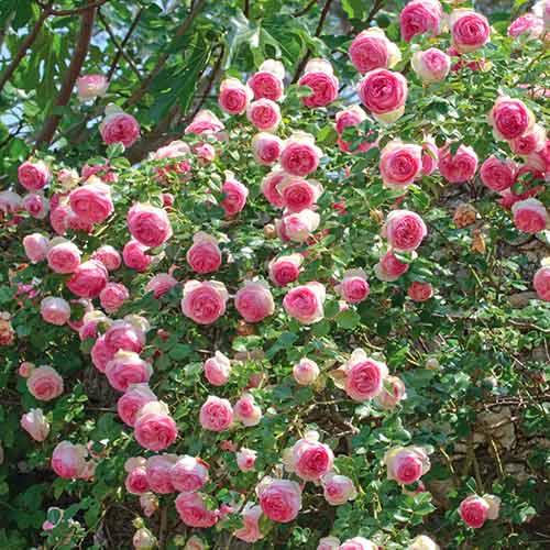 Trandafir urcător Eden Rose imagine 1 articol 4559