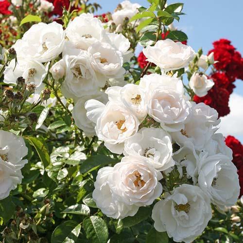 Trandafir urcător Hella imagine 1 articol 4568