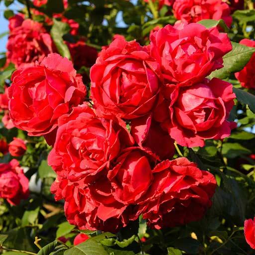 Trandafir urcător Paul's Scarlet Climber imagine 1 articol 4564