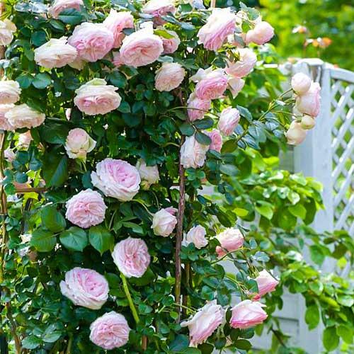 Trandafir urcător Pierre de Ronsard imagine 1 articol 2179