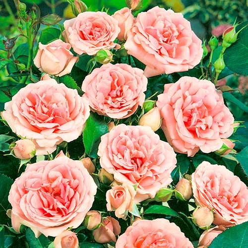 Trandafir floribunda Kimono