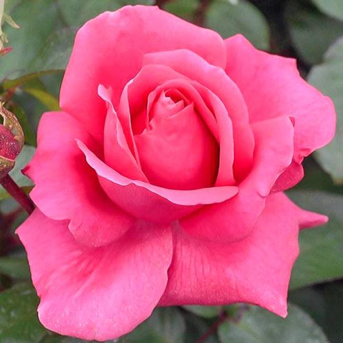 Trandafir teahibrid Cryterion imagine 1 articol 2265