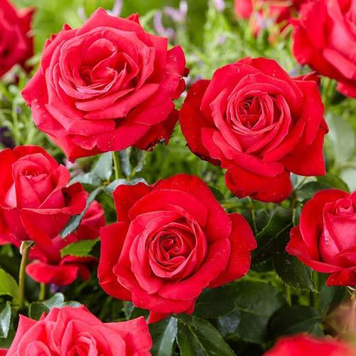 Trandafir teahibrid Dama de Coure