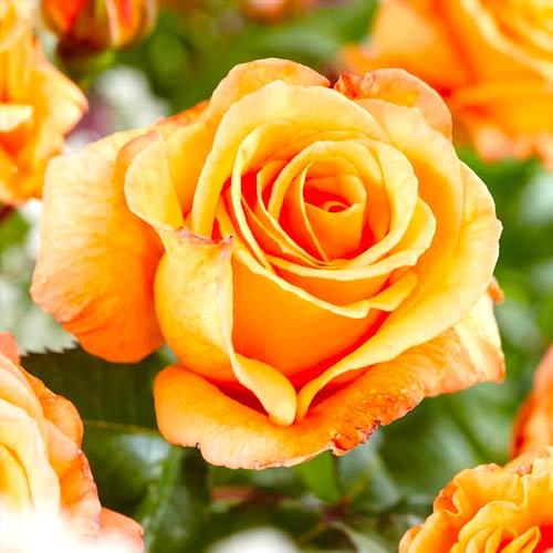 Trandafir teahibrid Doris Tysterman imagine 1 articol 2270