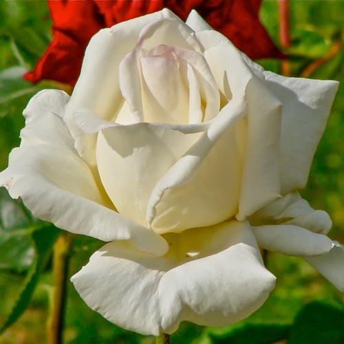 Trandafir teahibrid Mount Shasta imagine 1 articol 2291