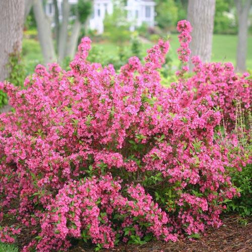 Weigela Bouquet Rose imagine 1 articol 9195