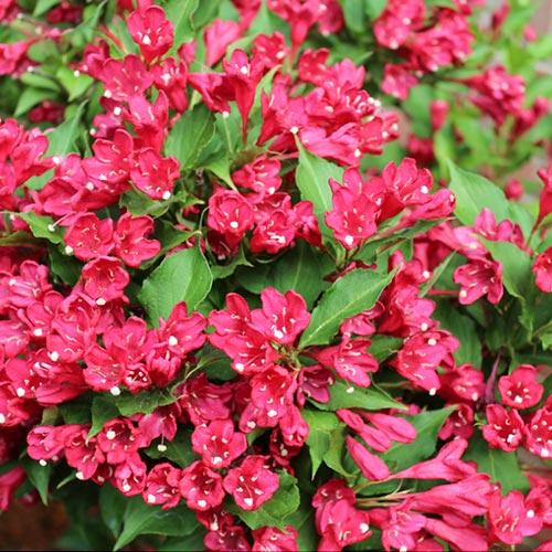 Weigela Newport Red imagine 1 articol 9194