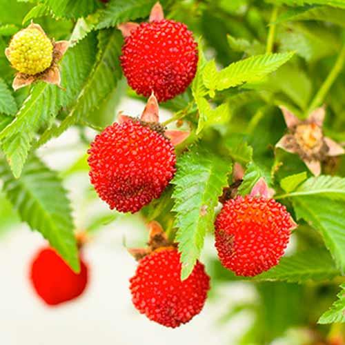 Căpșun-zmeur imagine 1 articol 9602