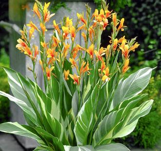 Bulbi de flori Best Buy Capperline