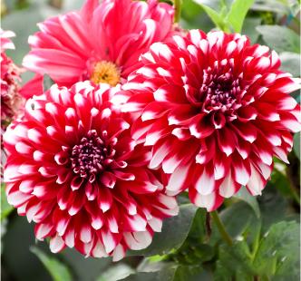 Bulbi de flori Global Capperline