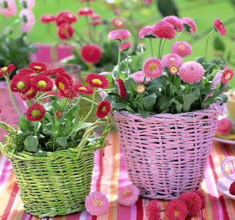 Semințe de flori bienale