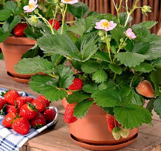 Stoloni de căpșuni