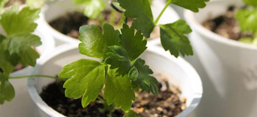 plantează țelina în grădină