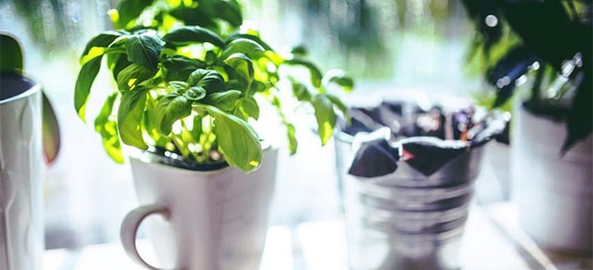 cultivă busuiocul la ghiveci