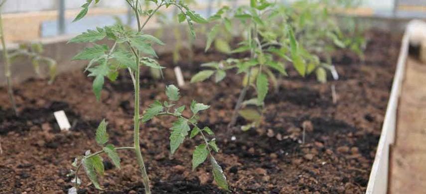 semănarea roșiilor pe pat germinativ