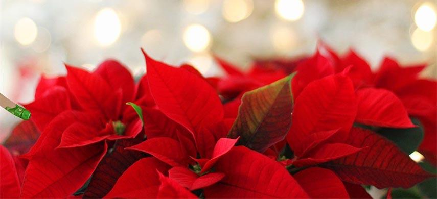 sfaturi pentru îngrijirea Crăciuniței