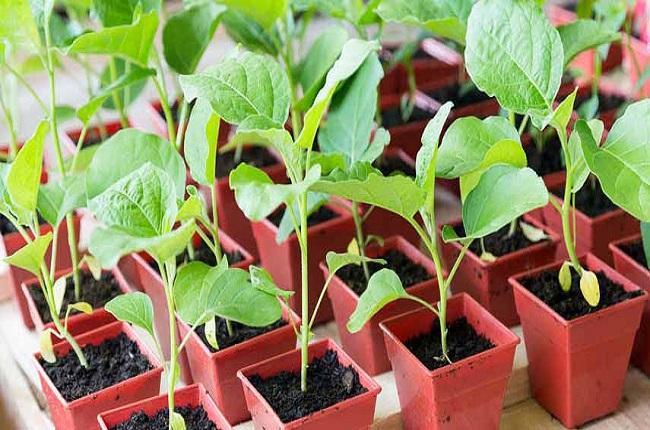 cultivarea ardeiului la interior