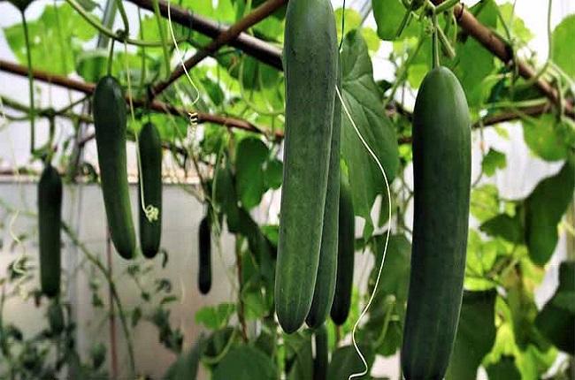 cultivare castraveți în casă