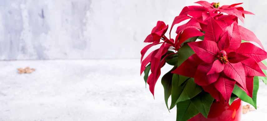 sfaturi pentru înflorirea Crăciuniței