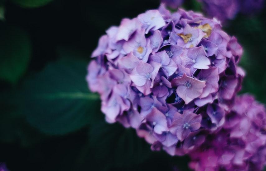 tunderea hortensiei arborescens