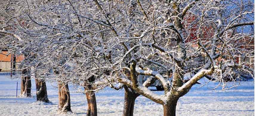 protejarea piersicului și nectarinului iarna