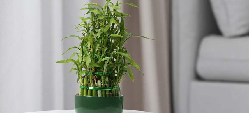 îngrijire bambus la interior