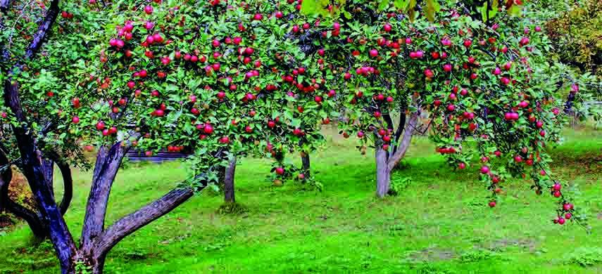 ingrijirea pomilor fructiferi
