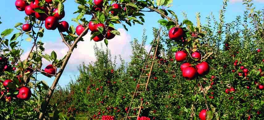 taierile la pomii fructiferi