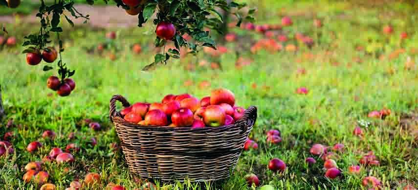 cum eviti moliile la pomii fructiferi