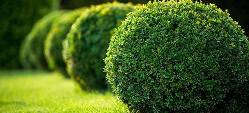 plantare buxus