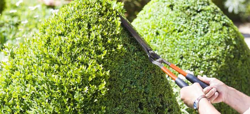 plantare cimisir