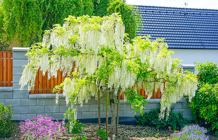 ingrijire wisteria
