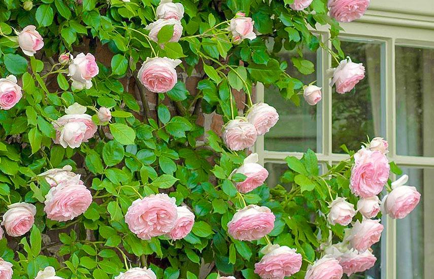Îngrijirea trandafirilor din grădină