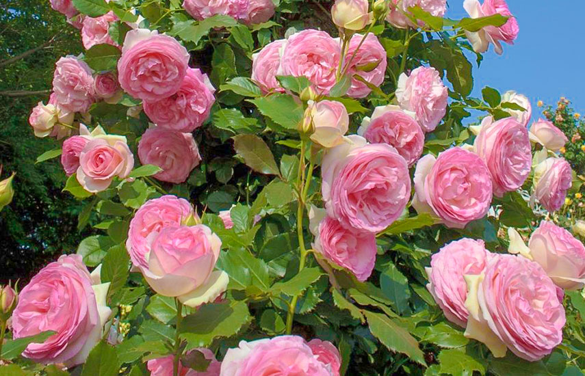 Îngrijire și irigare trandafiri