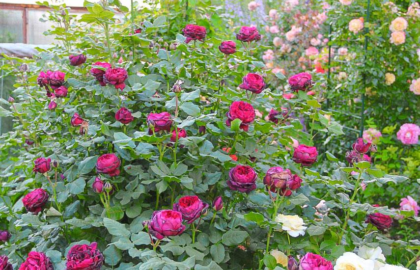 Îngrijirea atentă a trandafirilor