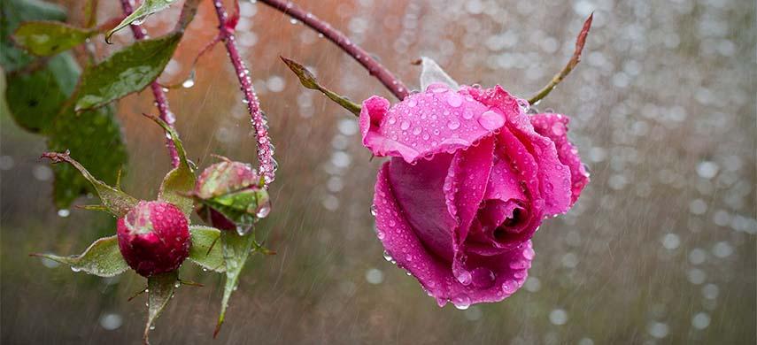 trandafir uscat la venirea toamnei cauze si solutii