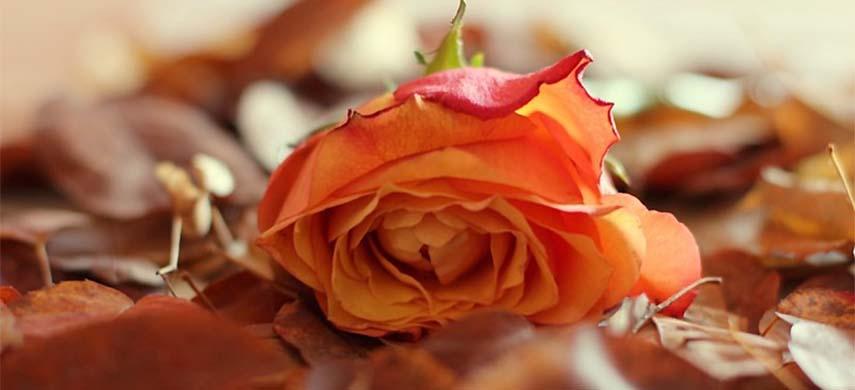 sfaturi ingrijire trandafiri toamna