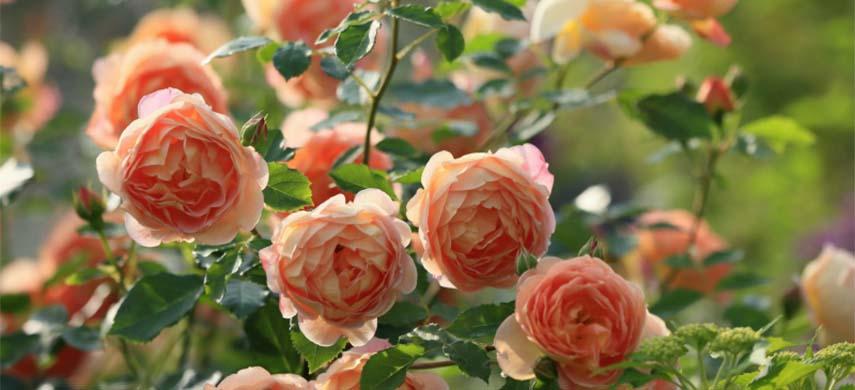 solutii trandafir uscat la venirea toamnei